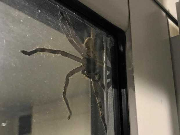 Couple terrified by enormous huntsman spider