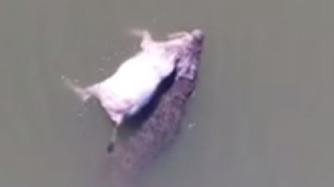 A drone video of a WA croc swimming with a cow in it's mouth has gone viral.