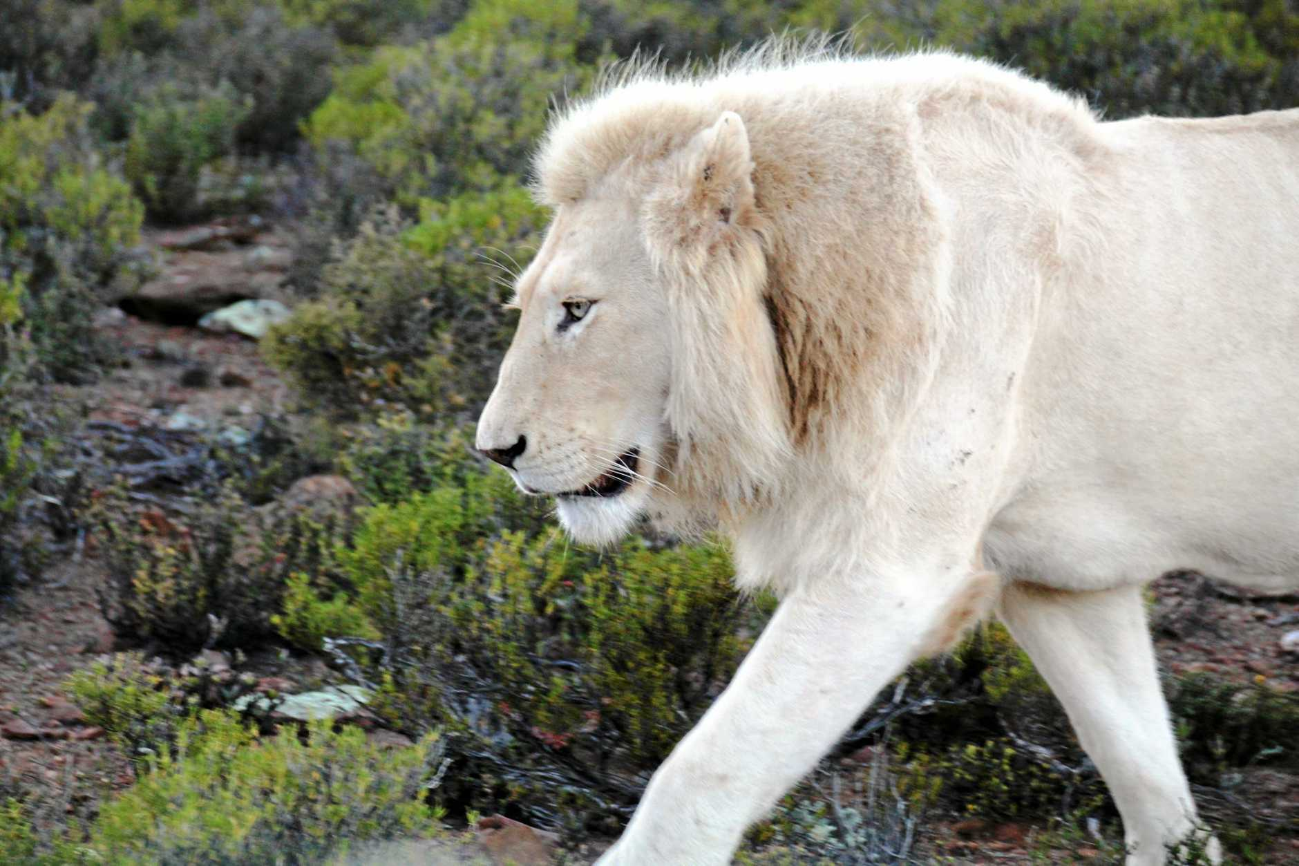 The male white lion.