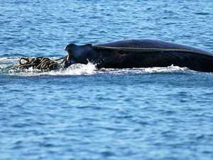 Troubled whale entangled off Fraser Island not seen since