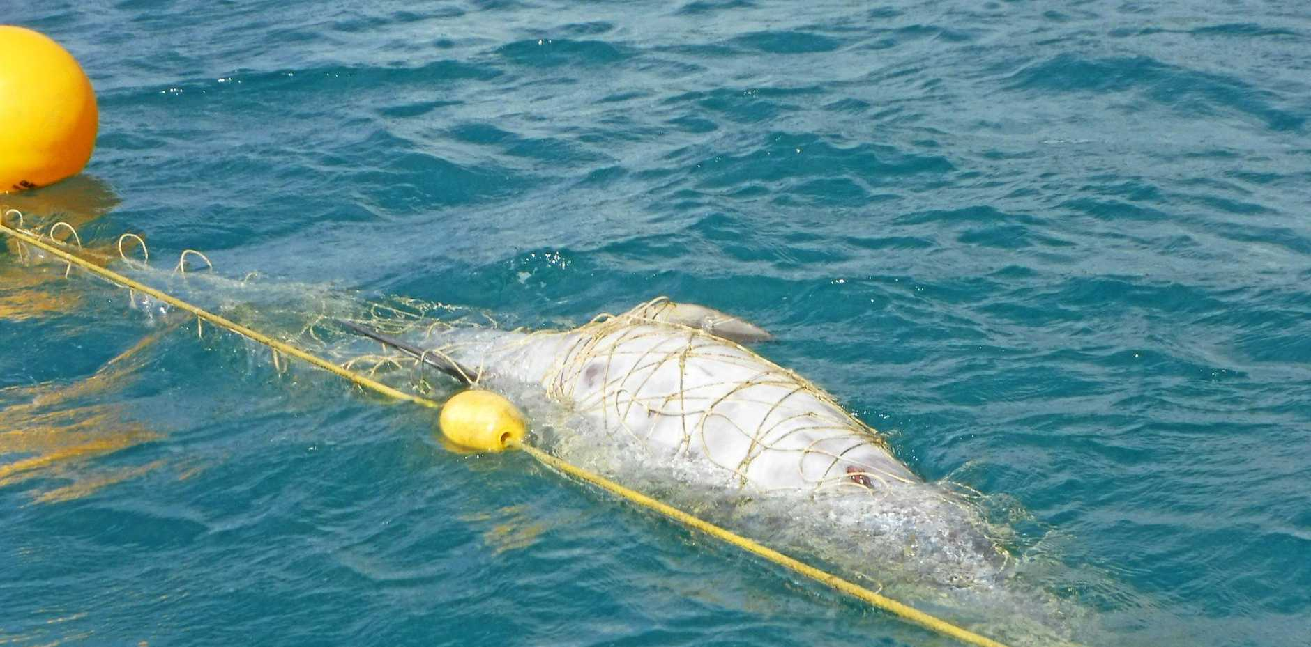 TANGLED UP: This sub-adult bottle nose dolphin was killed in shark nets off Noosa's Main Beach recently.