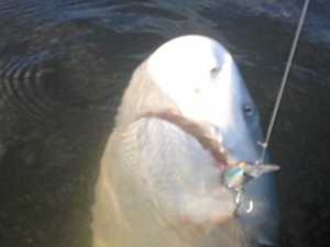 Bull shark alert: Predators spotted lurking in Fitzroy River