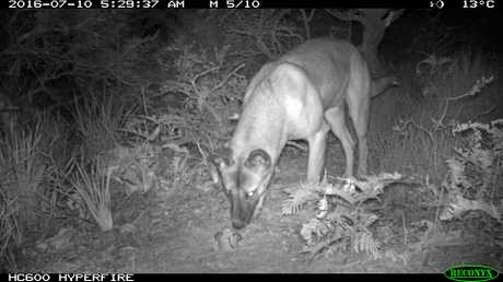 The NSW Office or Environment and Heritage has ramped up its tracking and monitoring of wild dogs on the Coffs Coast.