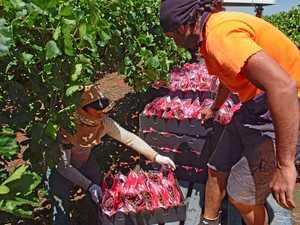 Tongan man becomes 14th to die on Seasonal Worker program
