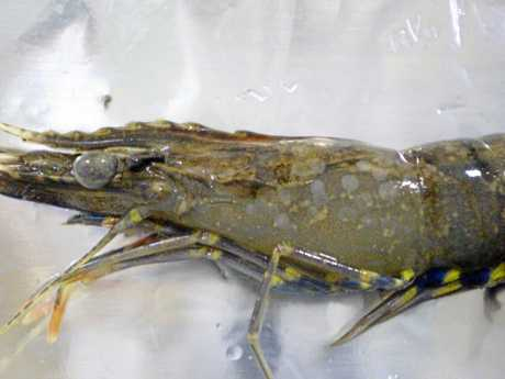 A prawn infected with White Spot Disease
