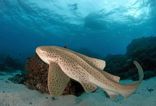 FRIENDLY LOCAL: This leopard shark was spotted at Julian Rocks off the coast of Byron Bay. Photo: Seanna Cronin