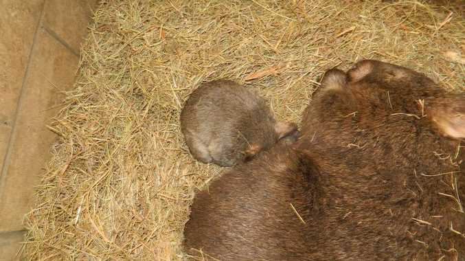 A new baby wombat has been born at Darling Downs Zoo.