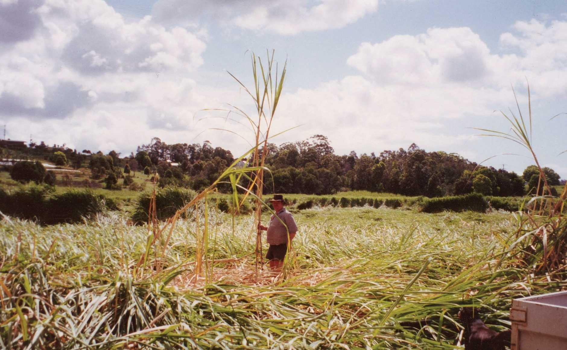 Cane  fields on the Sunshine Coast mysteriously  flattened overnight on  September 11, 1973.