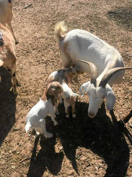 A mother goat with her triplet kids.