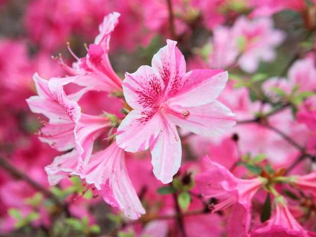 Azaleas provide a wonderful show of colour during spring when they are at their peak.