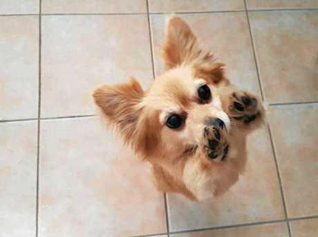 Pomeranian Holly is missing.