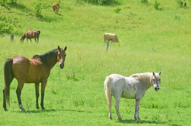 Warwick Rodeo Horse Sale.