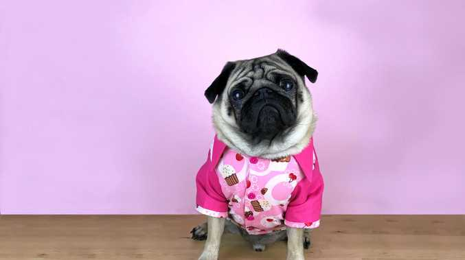 Olly the pug will be doing his bit to raise funds for the RSPCA's Cupcake Day.