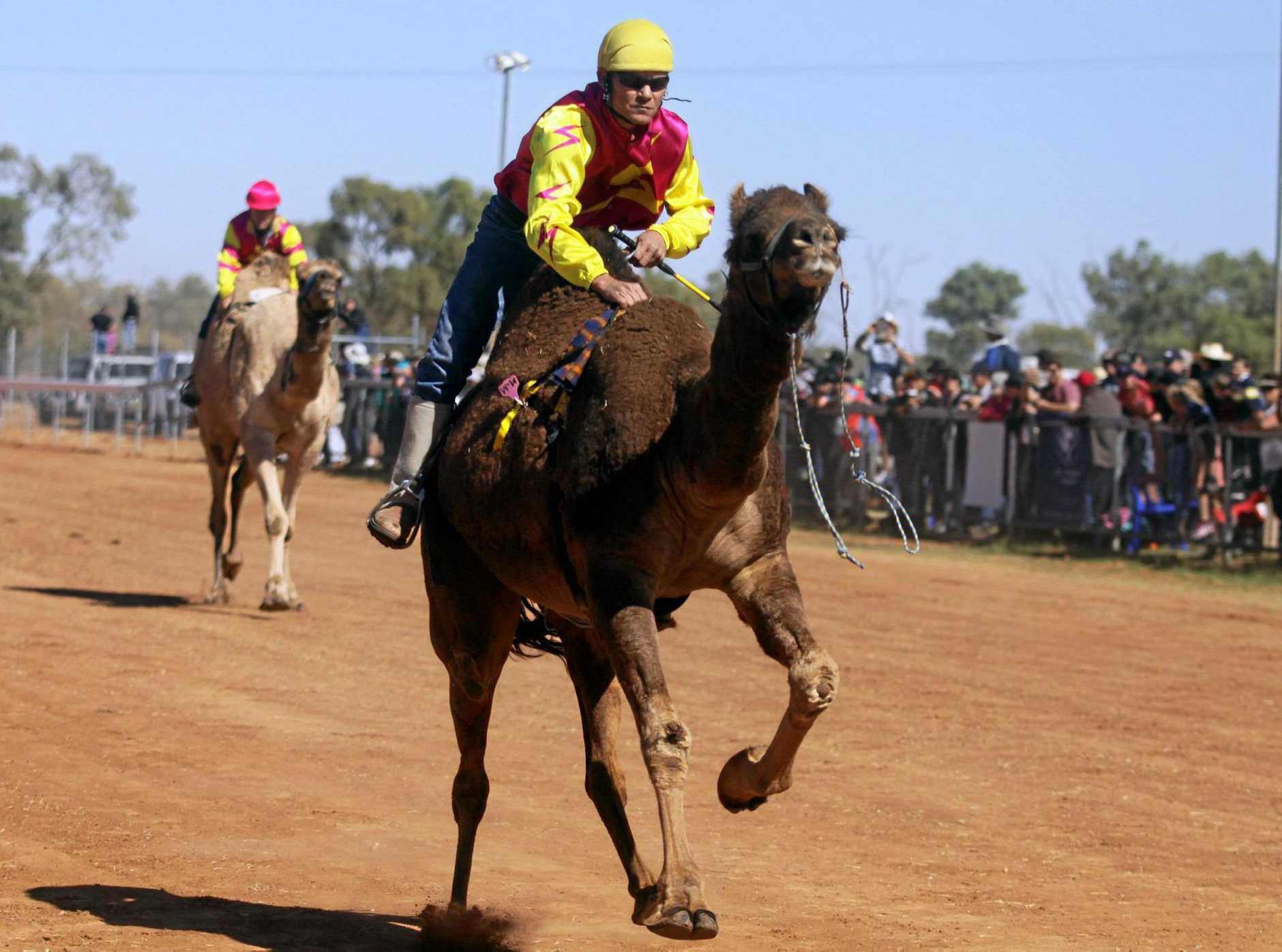 AND THEY'RE OFF: Jockeys hold on rather than steer camels across the line at the Boulia camel races.