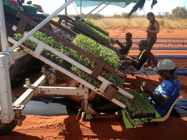 Young men from Ali Curung plant seedless watermelon seedlings at Desert Springs Farm in 2015.
