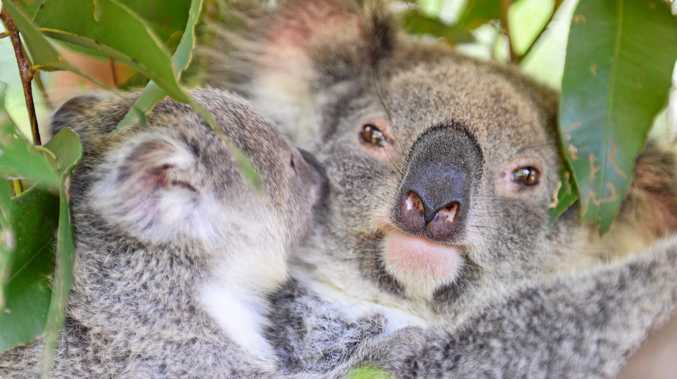 A breeding koala colony has apparently been found near Bellingen.