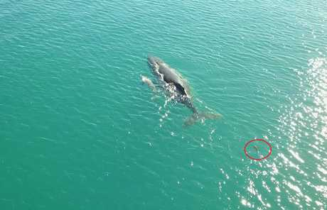 A shark can be seen in the lower right corner, paling in comparison to the size of the whale and its calf.