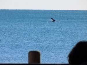 Whale waves to early risers enjoying breakfast at a Bay cafe