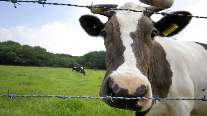 Cows on the loose caused numerous accidents last night.