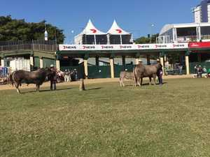 Bazadaise strut their stuff at Ekka 2017