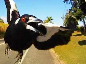 When magpies attack - swooping season starts on the Coast