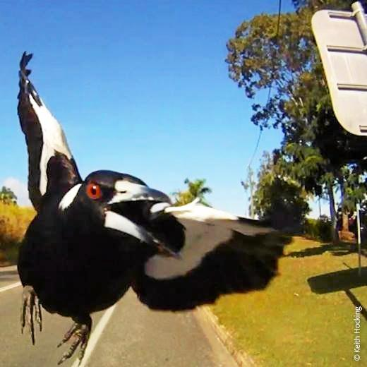 LOOK OUT: Magpie breeding season is here, so look out for swooping magpies over the next couple of months.