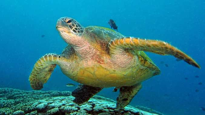 SLOW DOWN AND OBSERVE: A turtle at Flinders Reef, near Moreton Island.