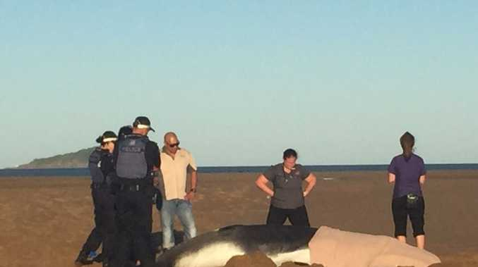 Mackay police and residents try to help a whale calf get back into deeper water at Illawong Beach.