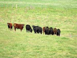 Cows adapt smartly to virtual fencing