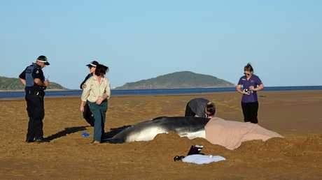 SAD TALE: A whale calf was put down by vets this afternoon after becoming beached on Illawong Beach.