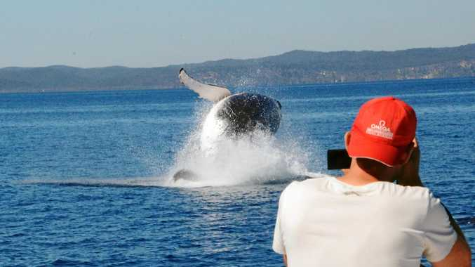 Breaching whale being captured by a whale watcher off the Queensland coast.