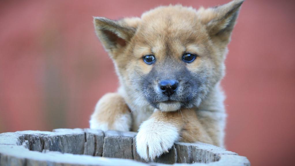 Queensland Zoo dingo Samson.