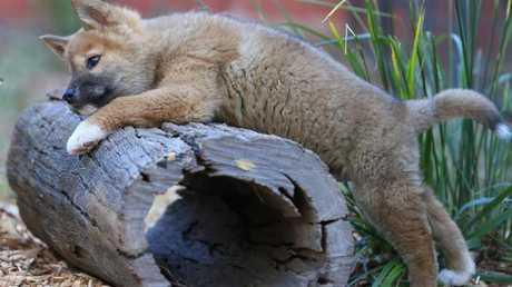 Queensland Zoo dingo Samson