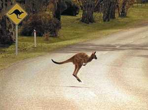 Kangaroo collisions on CQ roads land two in hospital