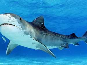 Tiger sharks a top catch in region