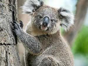Koala mowed down by golf buggy in gruesome hit-and-run