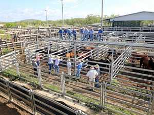 FLAT OUT: Busy selling at the Gracemere cattle saleyards.