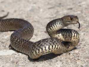 Eastern brown encounter heralds early start to snake season