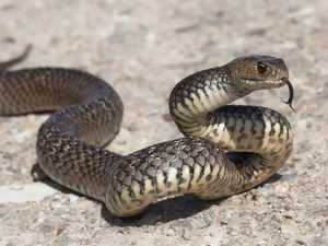 Eastern brown encounter heralds early start to snake season