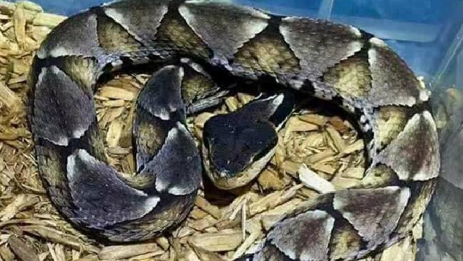 Commonly known as the Sharp-nosed viper, this snake has a horror bite.