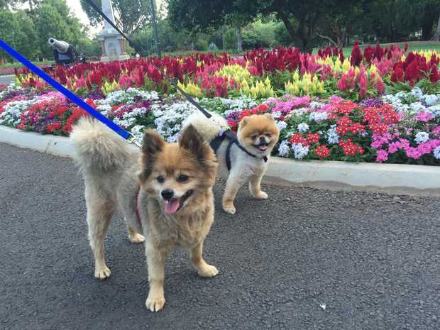 Pomeranians Bella and Millie will join Toowoomba's first pomeranian meet up.