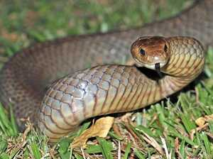 Brown snake found in toilets of Toowoomba hardware store