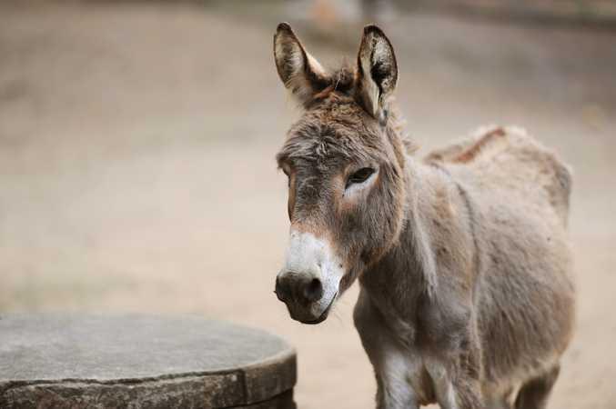 A file image of a donkey