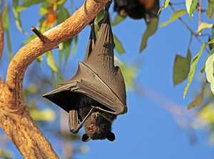 Licence to disperse flying foxes one step closer