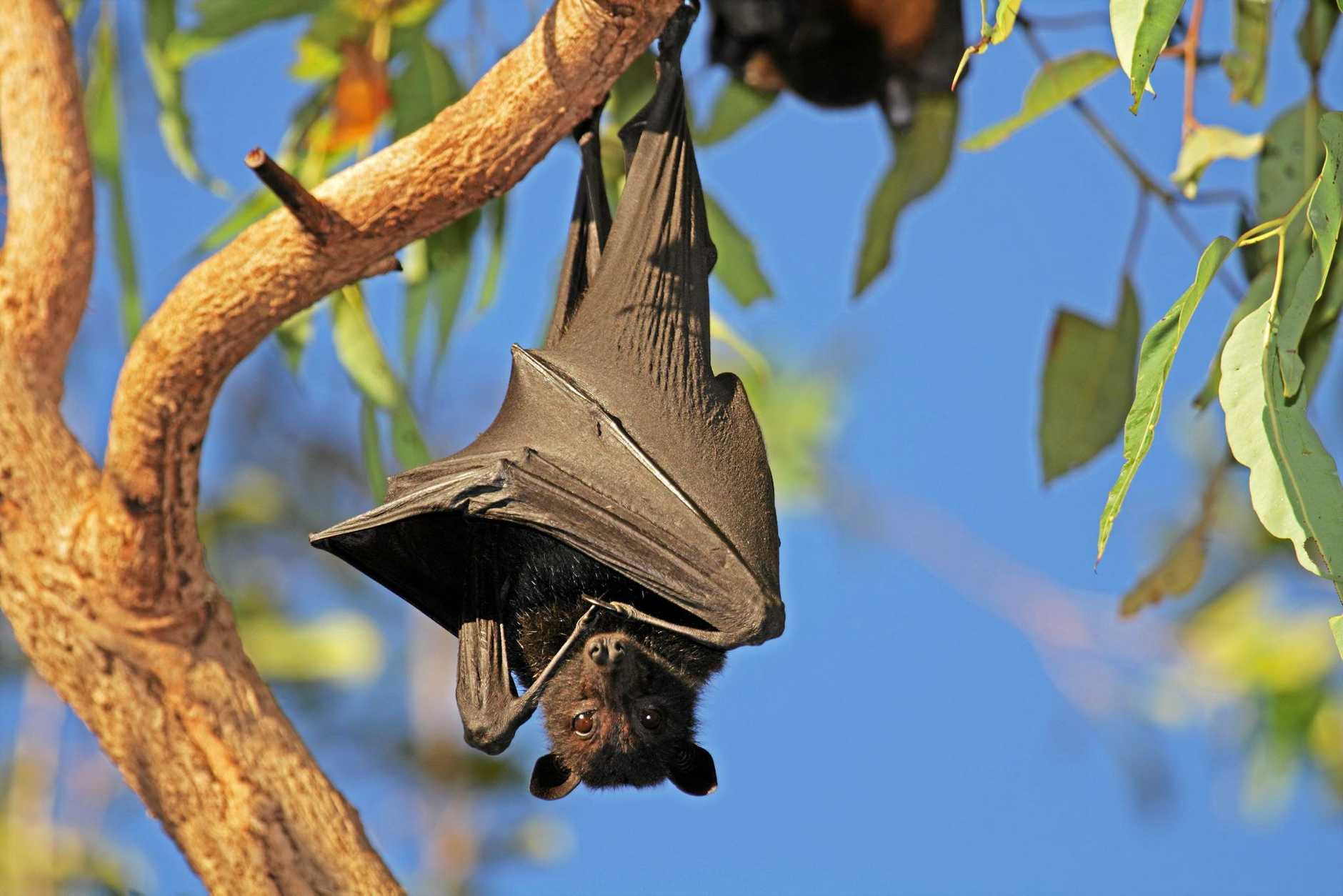 Dispersal of flying foxes in Duaringa will take place next week.