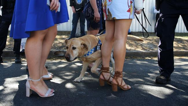 A sniffer dog in action at Doomben on Wednesday. Picture: Adam Armstrong