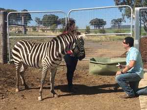 WATCH: Downs zoo animals make for epic proposal