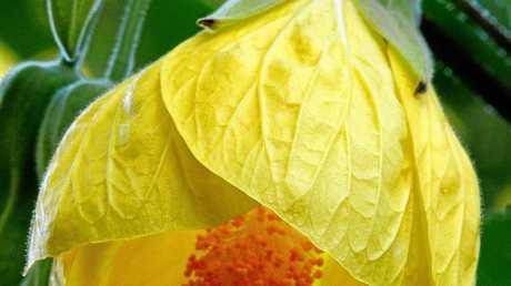 The abutilon flower.