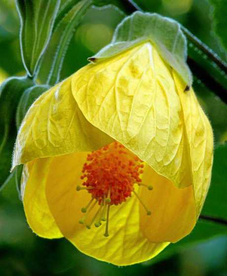 The abutilon flower.