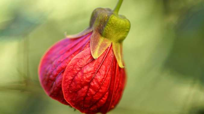 The easy to grown red abutilon flower.